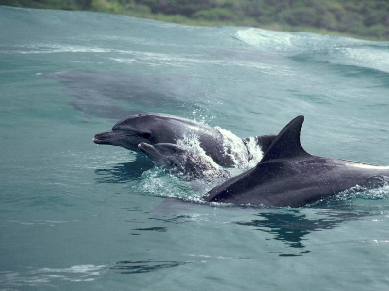Dolphins at Ponta do Ouro