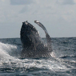 Whales-at-Massinga