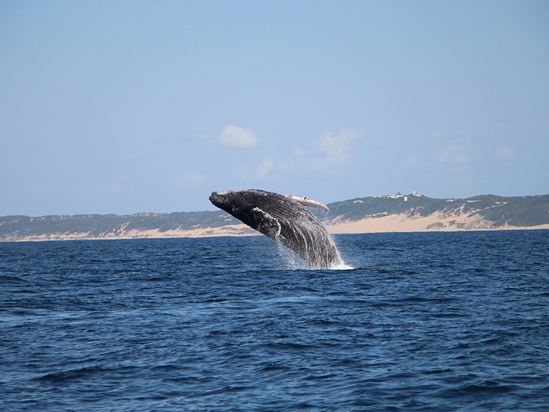 Colina Verde Humback-Whale-Jumping